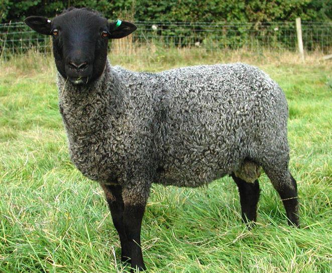 барьеров входа самая вкусная порода овец справиться