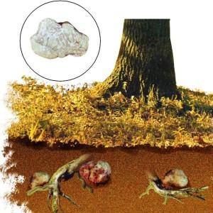 выращивание трюфеля