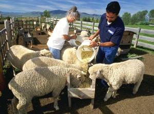 корм для овец