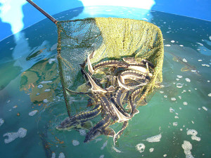 Разведение рыбы
