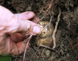 как растет трюфель